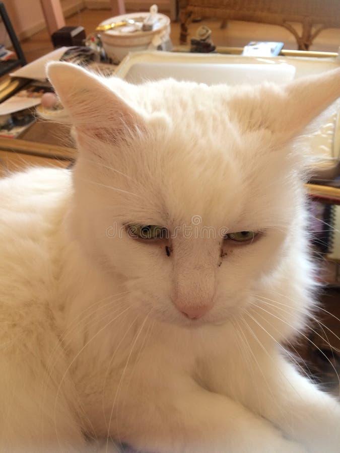 Vainilla el gato que se relaja foto de archivo