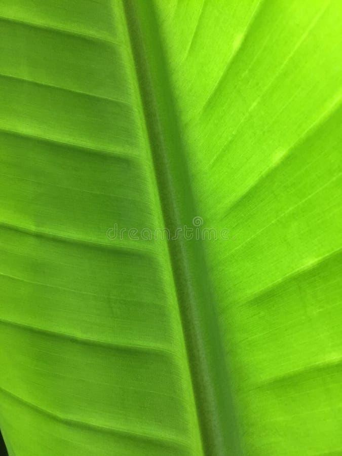 Vains tropicali verdi della foglia immagini stock