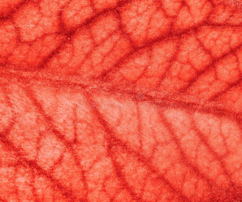 Vaisseaux sanguins image stock