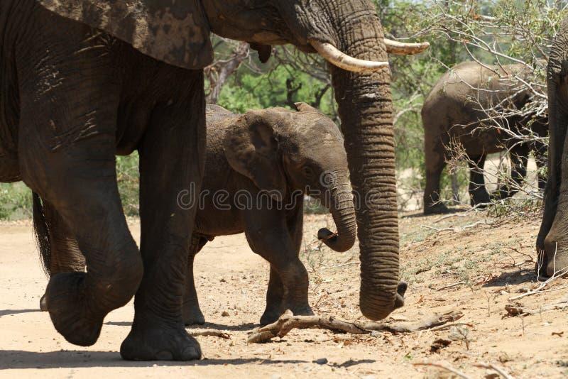 Elephants in the bush of kruger national park stock images