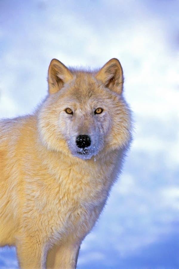 Vaken arktisk varg med härliga ögon, i vintern som ser rak på kameran arkivbilder