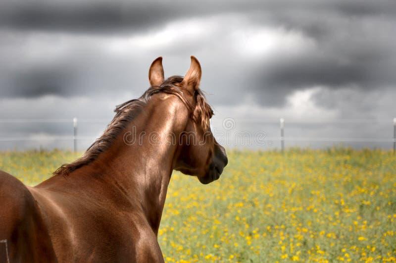 Vaken häst för ett häftigt regn i fält arkivfoton