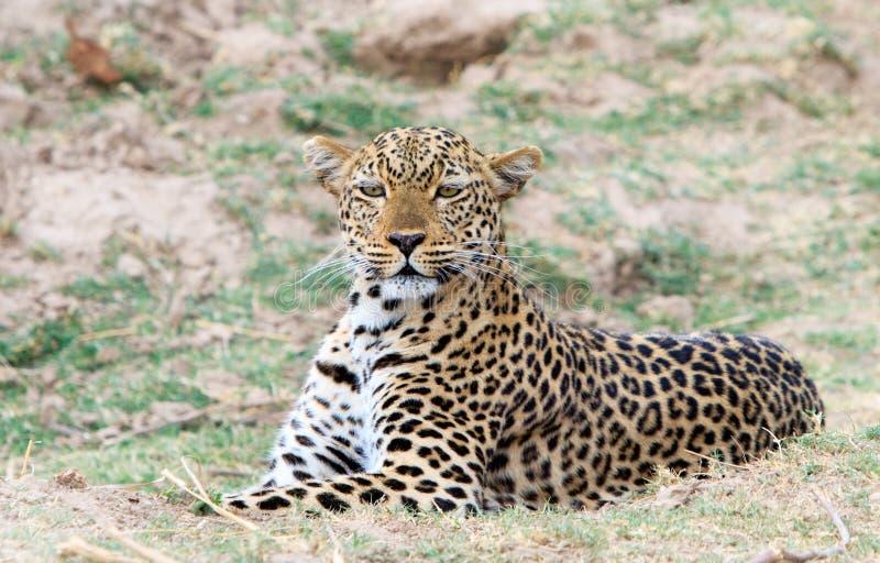 Vaken leopard som får klar att pounce i södra luangwa royaltyfri foto