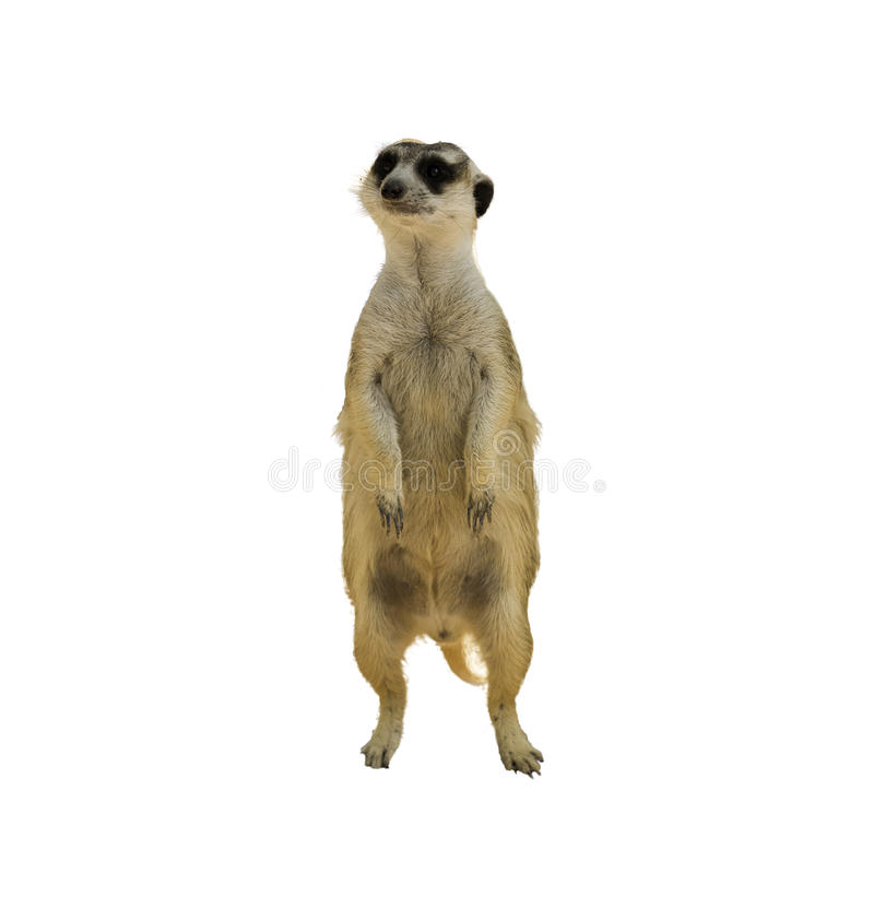 Vaken meerkat royaltyfri foto