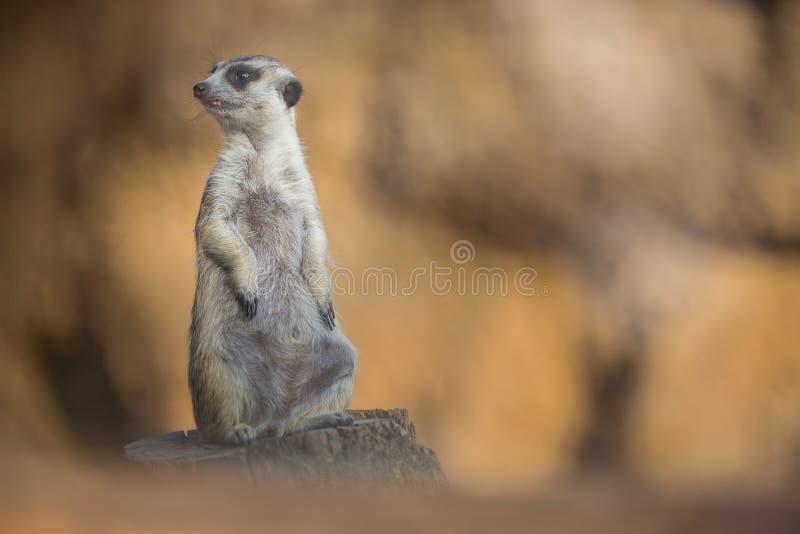 Vaken meerkat på vakten fotografering för bildbyråer