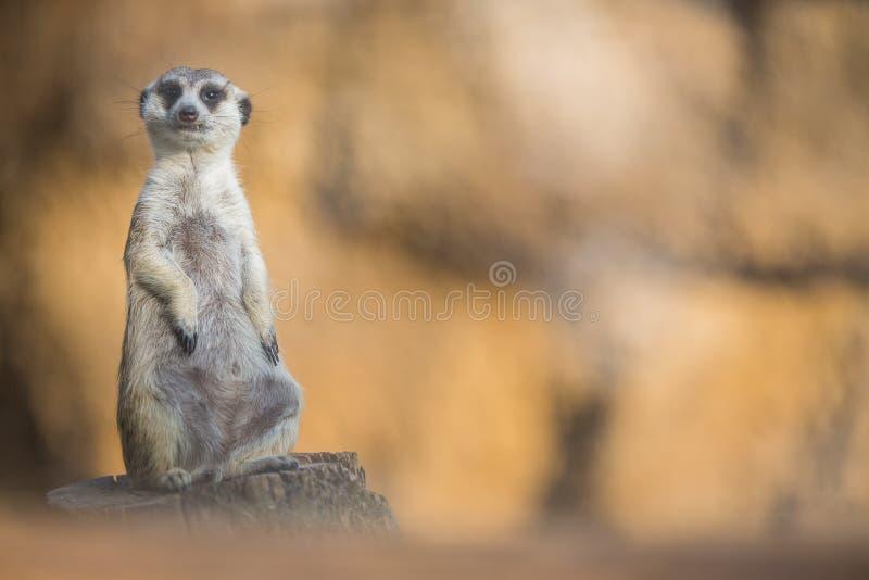 Vaken meerkat på vakten arkivbild