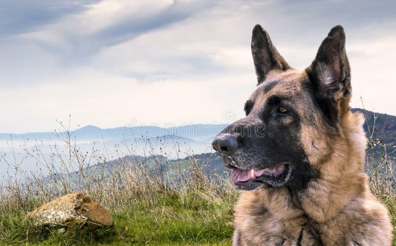 Vaken tysk herde Dog Sitting utomhus på en kulle med sikt av andra berg arkivfoto