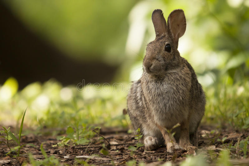 Vaken vuxen människabrunt Bunny Rabbit Sitting i Forest Preserve Field arkivfoton