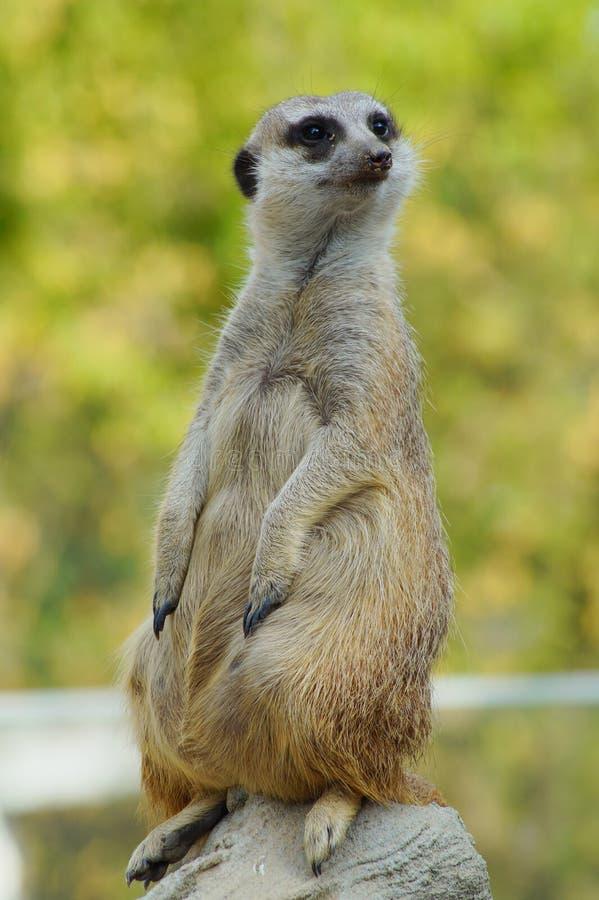 Vaket anseende för meerkat (Suricatasuricatta) på vakten royaltyfri fotografi