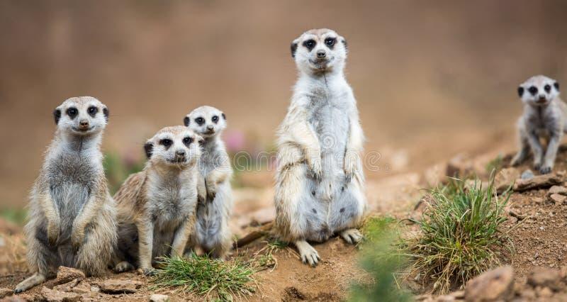Vakna meerkats som står vakten arkivfoton