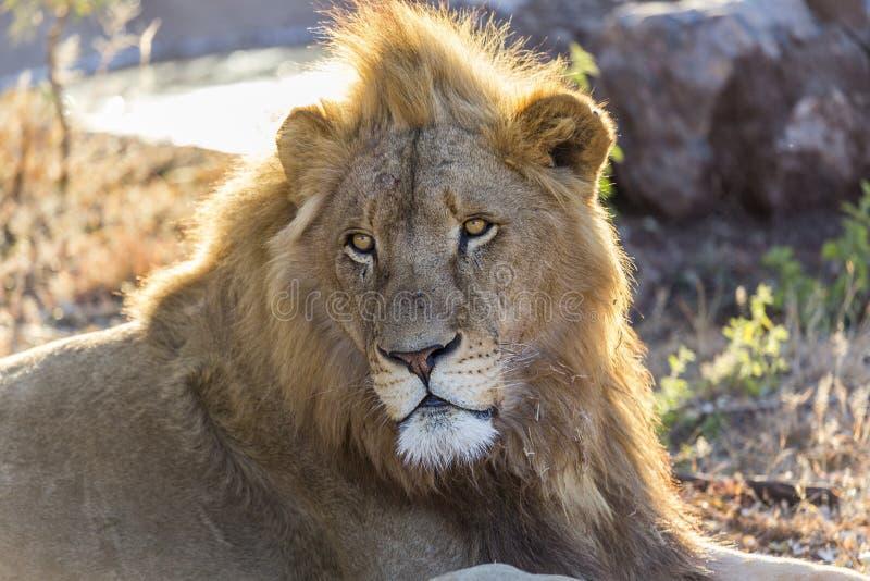 vaksamt ungt manligt vitt lejon för fången royaltyfria bilder