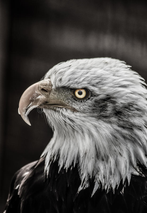Vakt Eagle arkivbilder