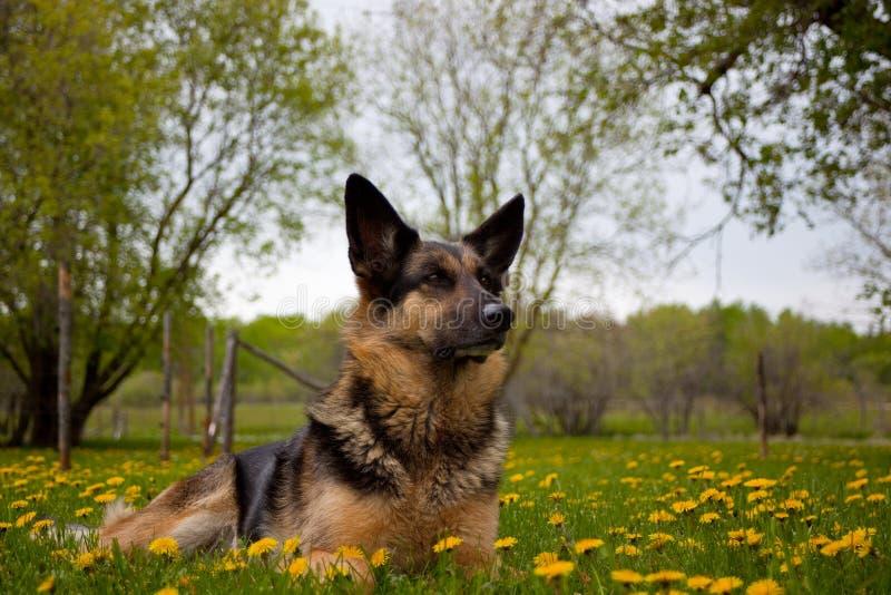 vakthund royaltyfria foton