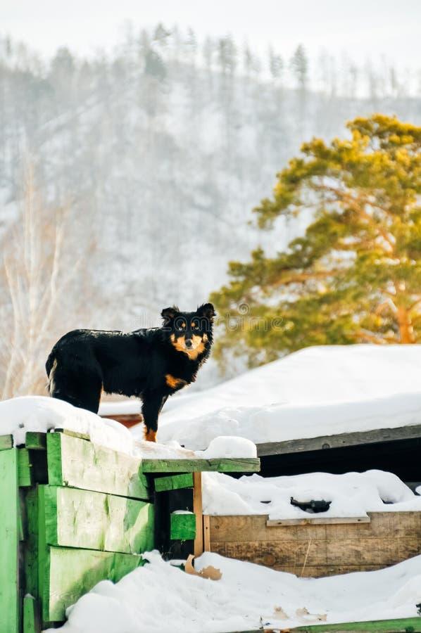 vakthund på konstruktionsplatsen Den olyckliga hunden skyddar det oavslutade huset royaltyfri bild