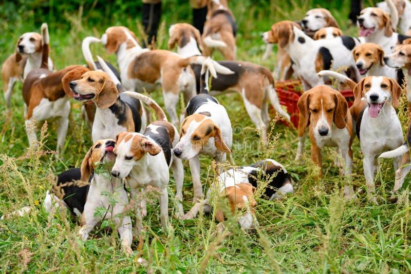 Vakthundar, jakthundar, jägarhundar, hundar med bisamhällen, beagelhundar som väntar på jakt royaltyfria foton