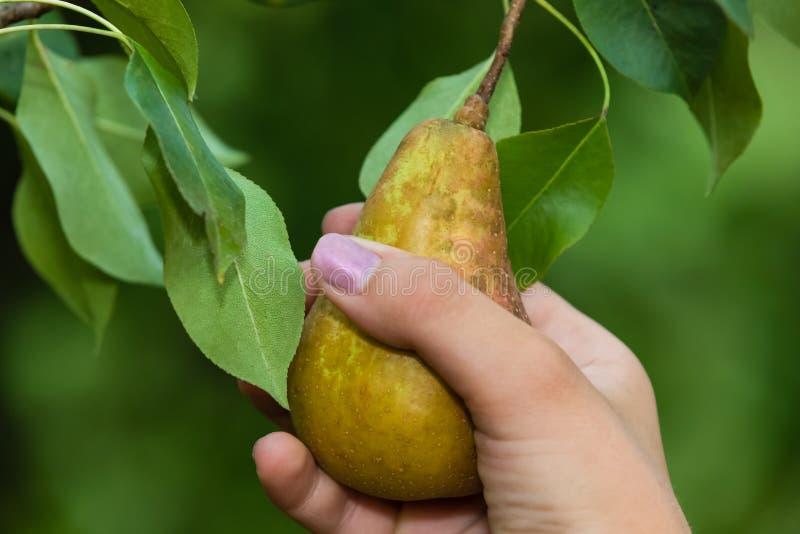Val av ett päron royaltyfri fotografi