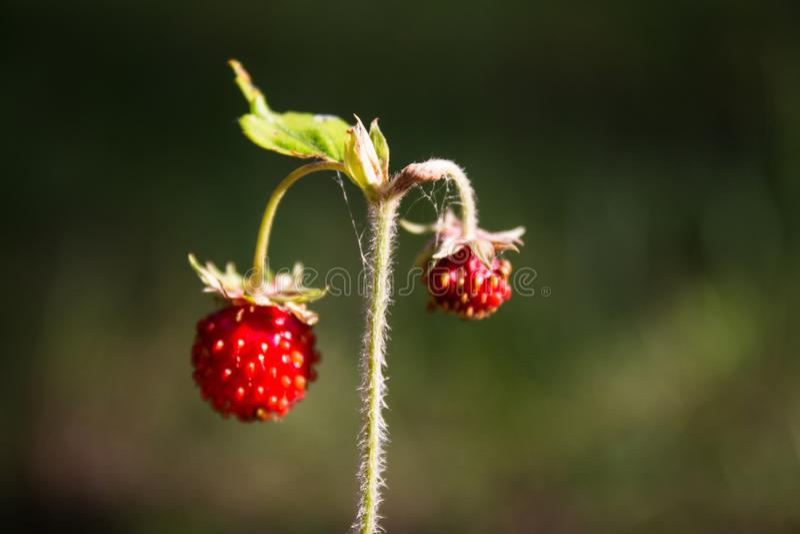 Val av mogna jordgubbar i en pinjeskog på en klar sommardag royaltyfri fotografi