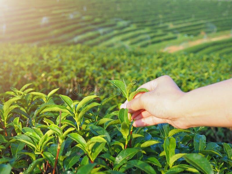 Val av teblad vid handen i organisk lantgård för grönt te i morgonen royaltyfri fotografi