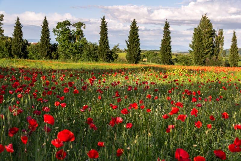 VAL D'ORCIA TUSCANY/ITALY - 19 MAGGIO: Campo del papavero in Toscana sulla m. fotografie stock