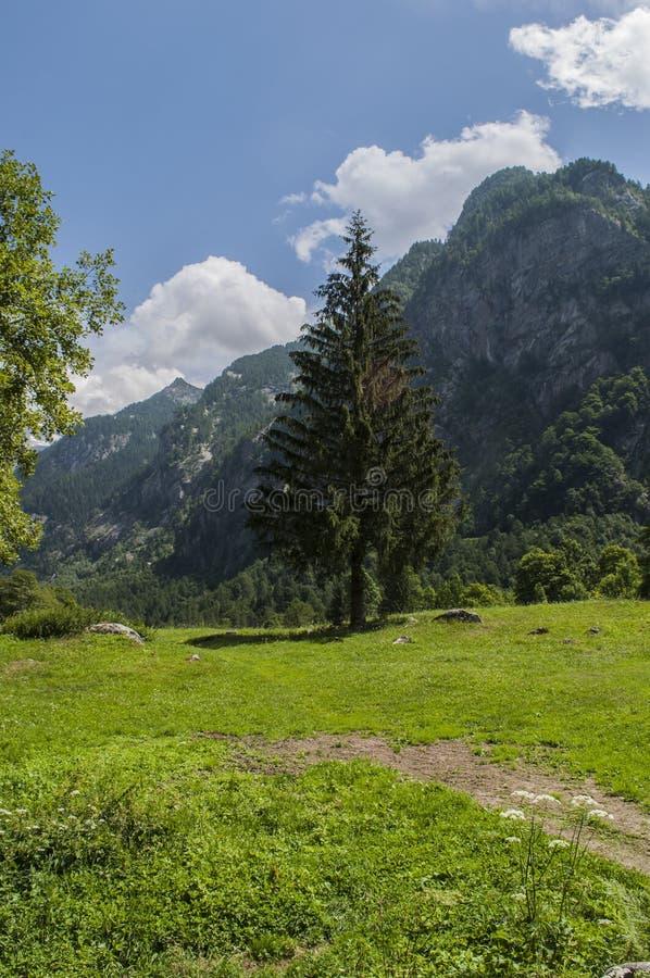 Val di Mello, Val Masino, Valtellina, Sondrio, Italy, Europe. Italy, 03/08/2017: a giant fir in the Mello Valley, Val di Mello, a green valley surrounded by stock image
