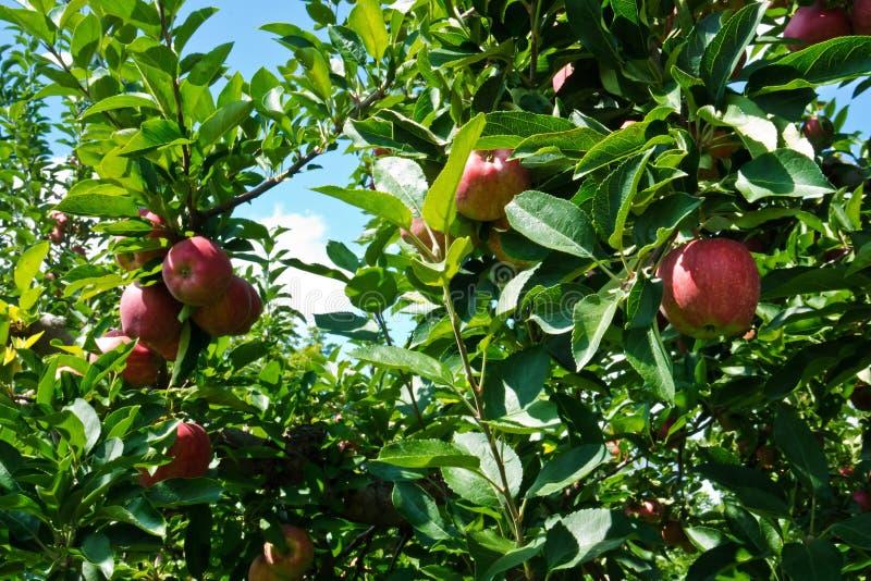 Valanga rossa e matura delle mele fotografia stock libera da diritti