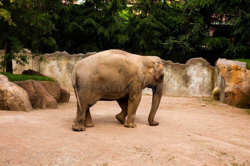 Valbrembo, Италия - 16 05 2019 Слон в идти зоопарка Дневное время в зоопарке Le Корнелл стоковые изображения