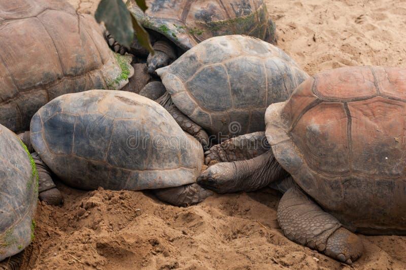Valbrembo, Itália - 16 05 2019: Família das tartarugas com as duas crianças pequenas das tartarugas no jardim zoológico Parque an fotografia de stock royalty free