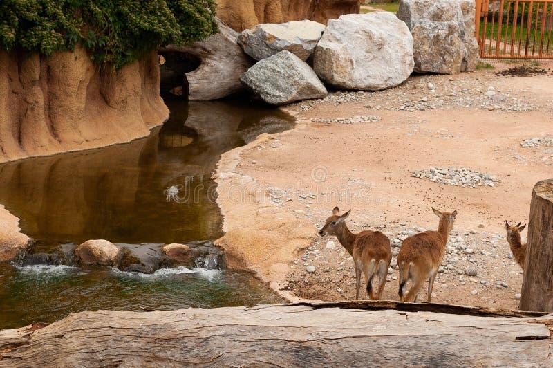 Valbrembo, Italie - 16 05 2019 : Trois petits cerfs communs se tenant près de l'eau dans le parc animalier de le Cornell images stock