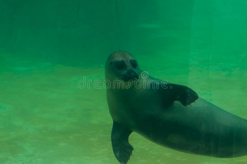 Valbrembo, Lombardia - 16.05.2019: Sea lion is swimming on the back in Le Cornell animal park. The Californian sea lion or stock photos