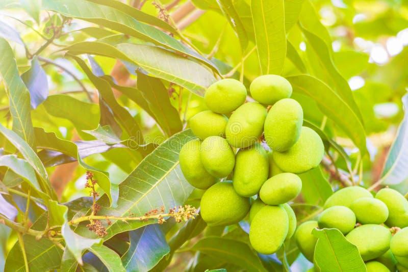 Vald fokus för mangogrupp med grunt djup av fältet arkivfoto