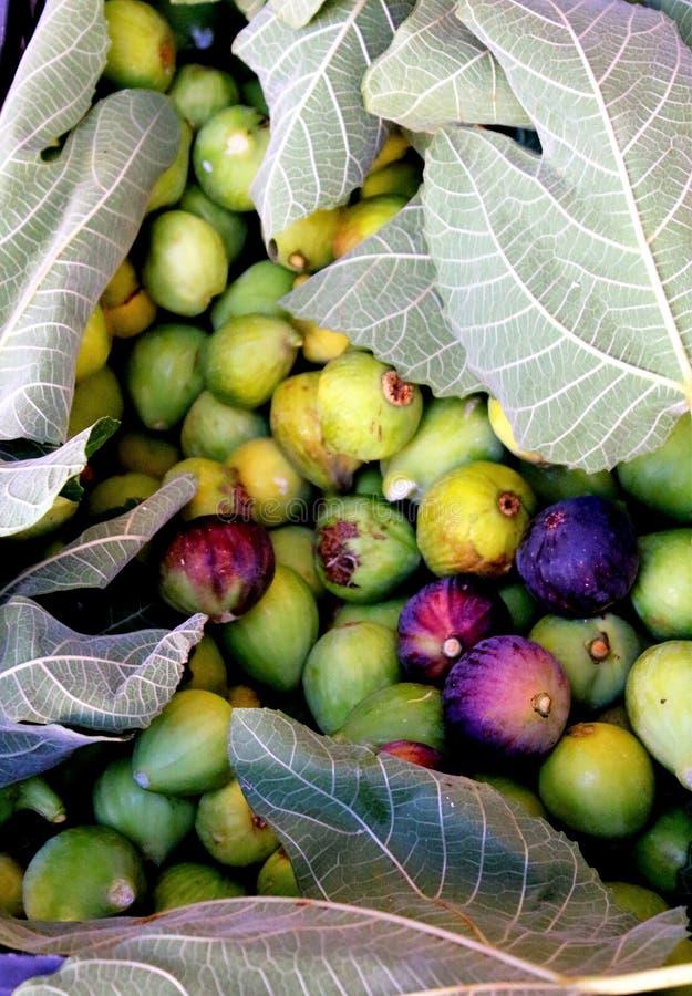 Valde nytt fikonträd med fikonträdsidor royaltyfria foton