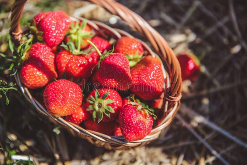 Valde nytt jordgubbar i en korg på en solig dag arkivbild