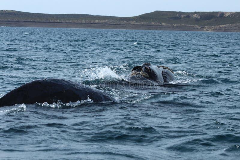 Valdes-Halbinsel - Argentinien Der Wal lizenzfreie stockfotos