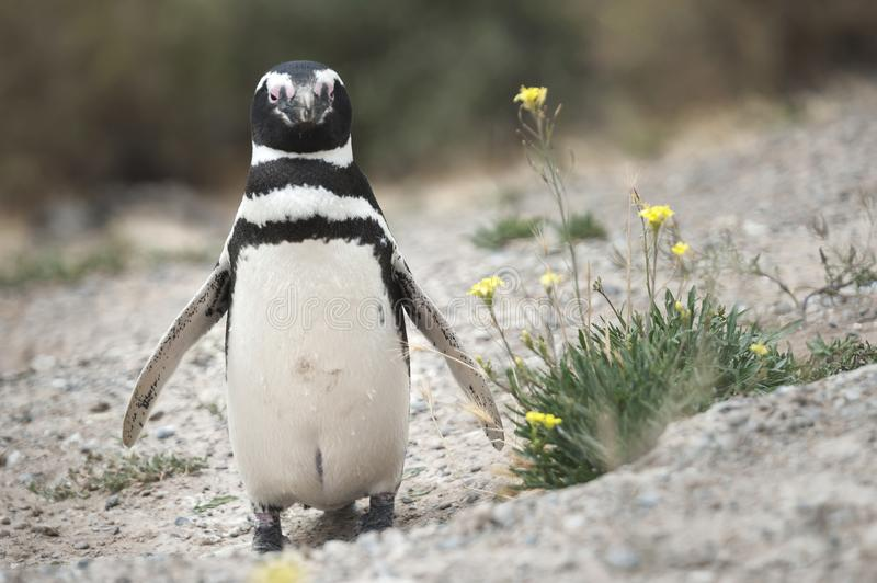 Magellanic penguin in the Valdes Peninsula. In the Valdes Peninsula are present several colonies of magellanic penguins, mainly located in Punta Tombo and royalty free stock image