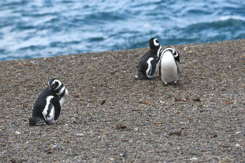 Magellanic penguin in the Valdes Peninsula. In the Valdes Peninsula are present several colonies of magellanic penguins, mainly located in Punta Tombo and royalty free stock photo