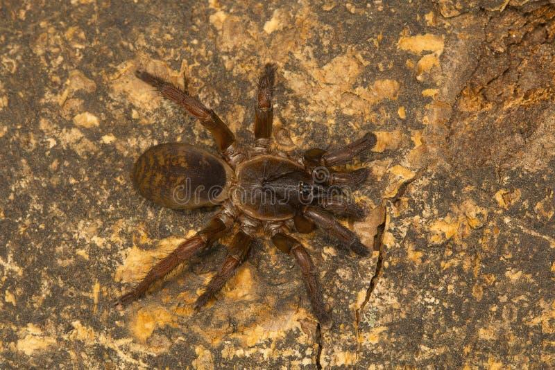 Valdeurspin, soort Tigidia van de borstel betaalde spinfamilie Barychelidae stock afbeelding