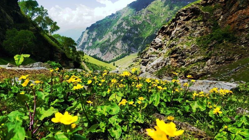 Vale bonito de flores amarelas, fundo da montanha foto de stock