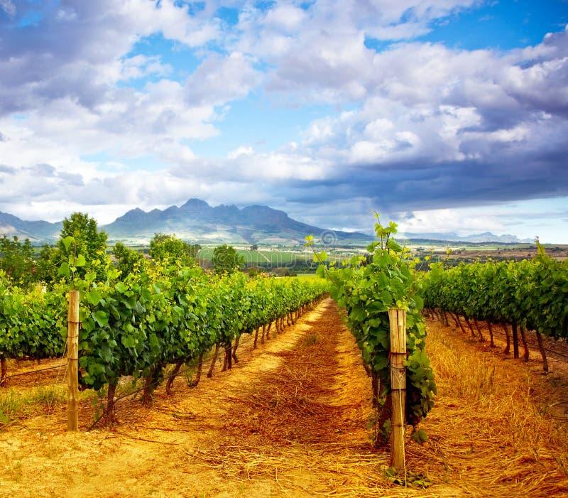 Download Vale da uva imagem de stock. Imagem de verde, agricultural - 26501023