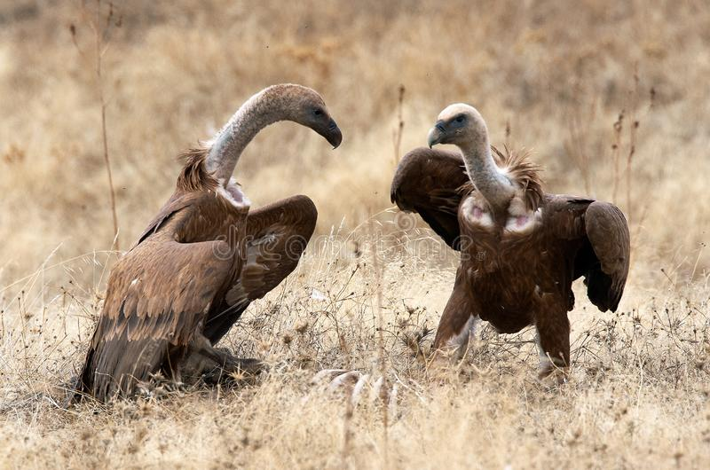 Vale Gier, Griffon Vulture, Gyps fulvus royalty free stock photo
