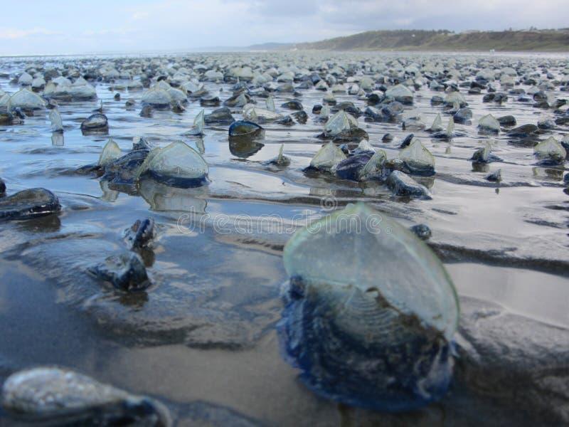 Valella Valella som strandas på stranden arkivfoto