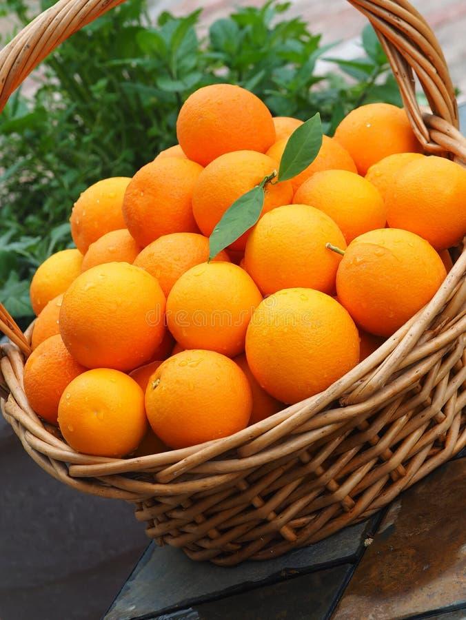 Valencia Oranges escolhido fresco imagens de stock royalty free