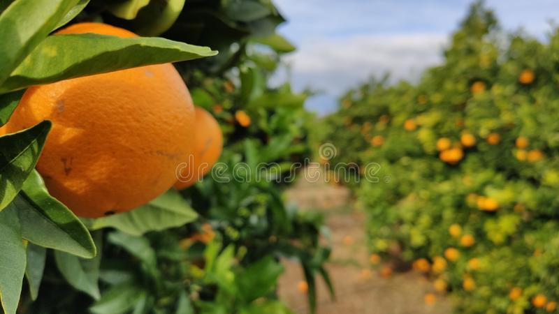 Valencia oranges on the tree ready to be picked.  fruit rich in vitamin c. royalty free stock image
