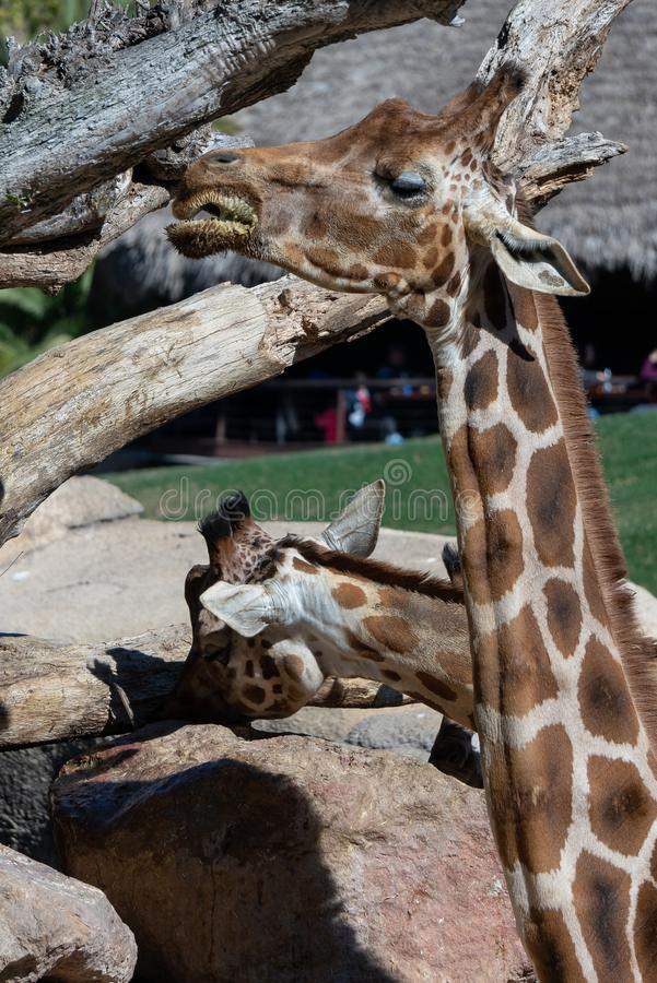 African Giraffes at the Bioparc in Valencia Spain on February 26, 2019. Unidentified people. VALENCIA, SPAIN - FEBRUARY 26 : African Giraffes at the Bioparc in stock photography