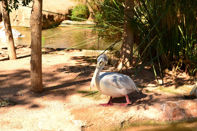 Valencia Zoo, the Pelican royalty free stock photography