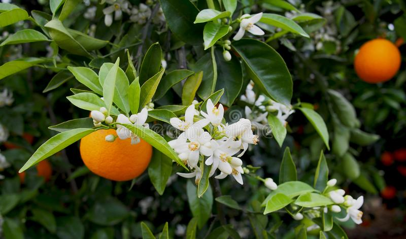 Valencian orange and orange blossoms. Spain. Spring stock photography