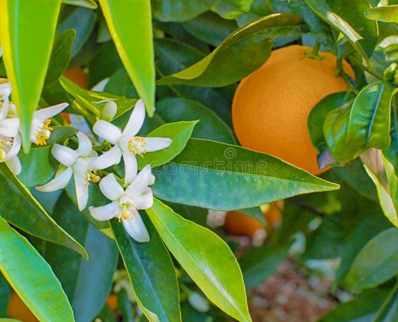 Valencian pomarańcz okwitnięcia i pomarańcze Wiosna fotografia stock