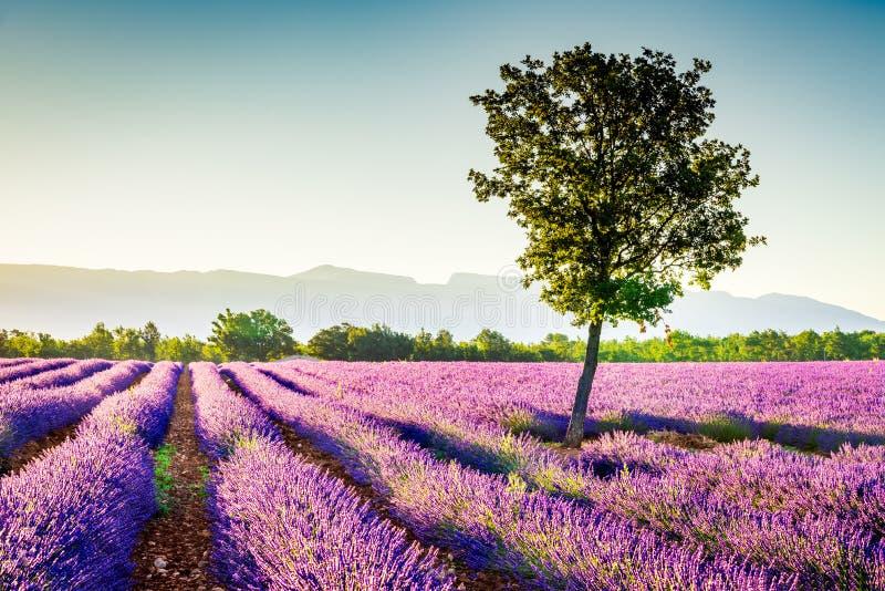 Лаванда Valensole в Провансали, Франции стоковые фотографии rf