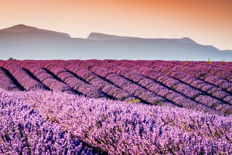 Лаванда Valensole в Провансали, Франции стоковое изображение