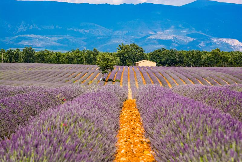 Valensole Frankrike - Juni 17, 2018 Lavendelfält i blomning med gifta paret under trädet, Valensole, Provence arkivfoton