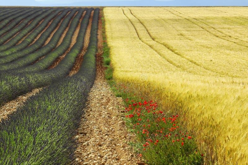Valensole: gebieden van lavendel stock afbeeldingen